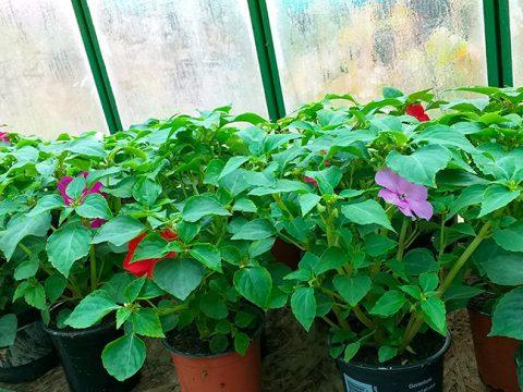 balkonove-kvetiny-11