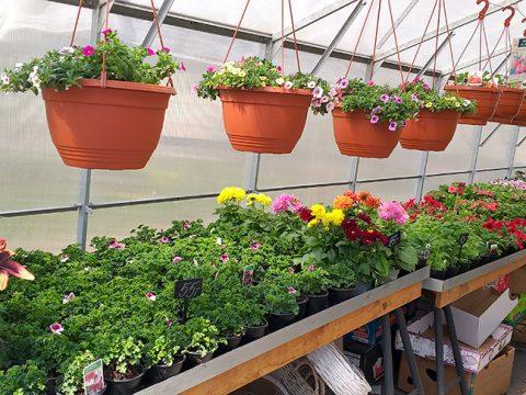 balkonove-kvetiny-17