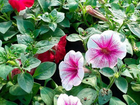 balkonove-kvetiny-6