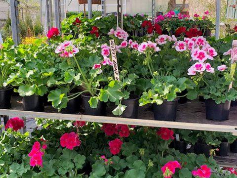 balkonove-kvetiny-7