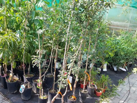 ovocne-stromky-4
